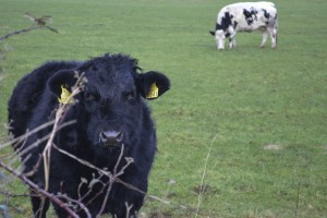 Cow_in_background