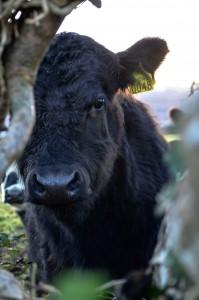 peeking_cow-copy