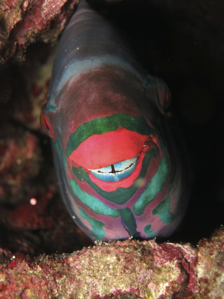 Bi-colour parrotfish smiling